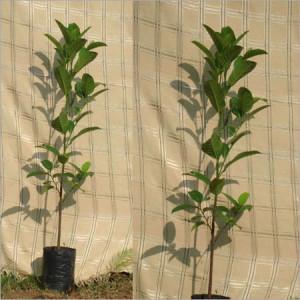 Artocarpus Heterophyllus (Panasa)