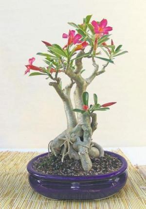 Natural Adenium Bonsai Plant