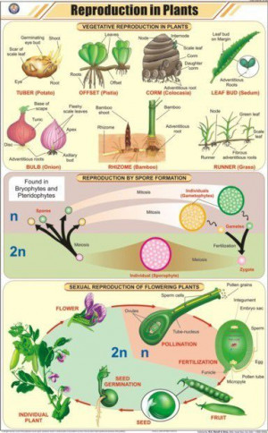 Reproduction in Plants Chart