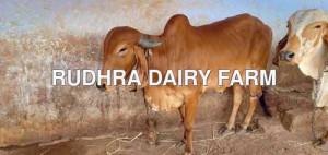 Gir Cow For Sale In Eorde