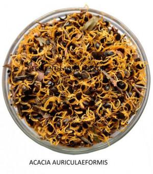 Acacia auriculaeformis