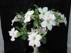 Bonsai Adenium Plants